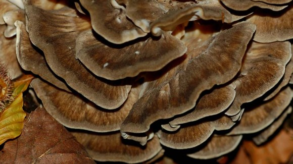 miraculous-mushrooms-maitake-