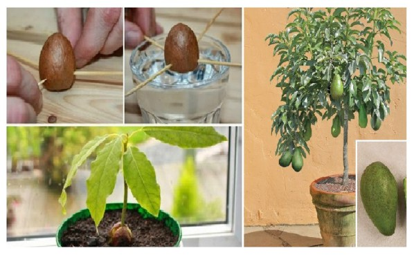 how-to-grow-your-own-avocado-tree-in-small-garden-pot