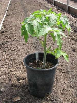 properly-plant-tomato-get-5-8ft-plants1