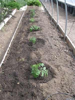 properly-plant-tomato-get-5-8ft-plants10