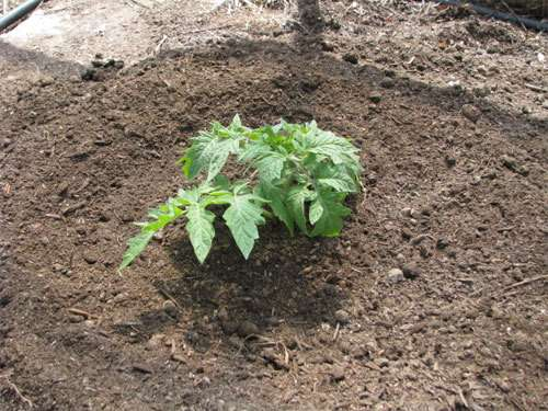 properly-plant-tomato-get-5-8ft-plants8
