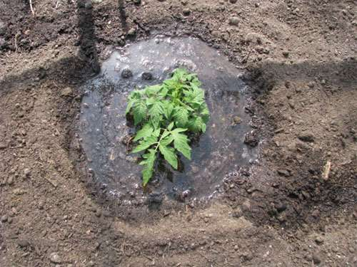 properly-plant-tomato-get-5-8ft-plants9